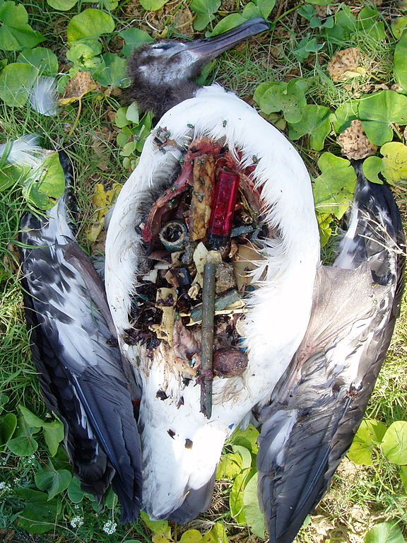 Laysan albatross plastic filled stomach